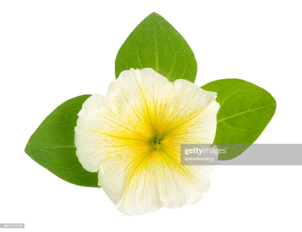 Yellow Flower Of Petunia With Green Leaves Isolated On White