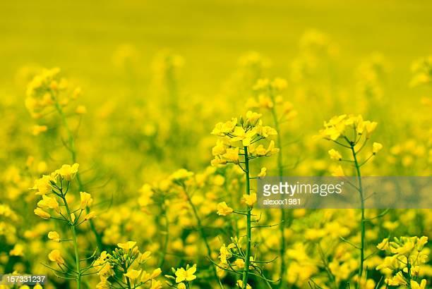 yellow flower of rape