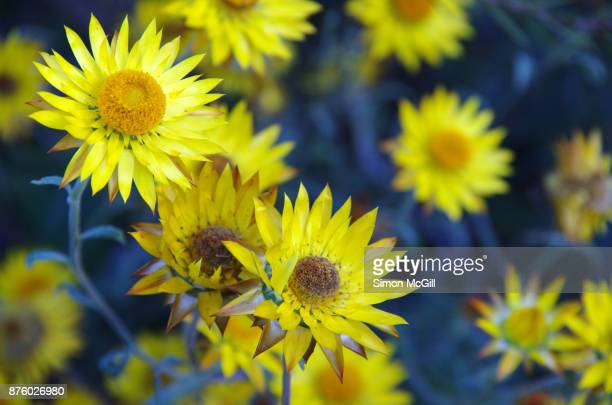 Yellow flower of Xerochrysum bracteatum, commonly known as the golden everlasting or strawflower or paper daisy,