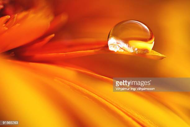 Yellow flower petal with droplet