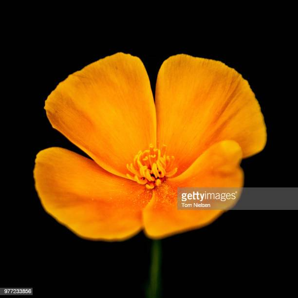 yellow flower - california golden poppy stock pictures, royalty-free photos & images