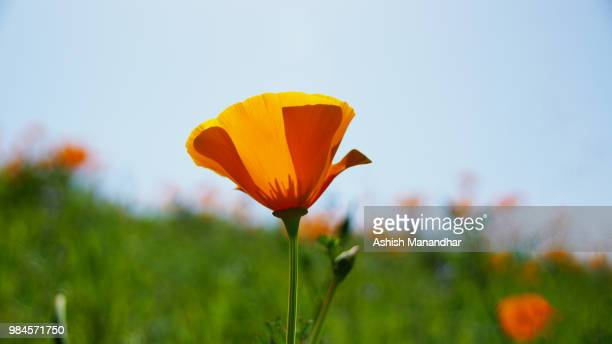 yellow flower2 - california golden poppy stock pictures, royalty-free photos & images