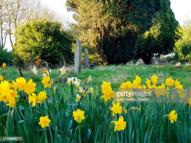 yellow flowering plants in garden - field of daffodils stock pictures, royalty-free photos & images