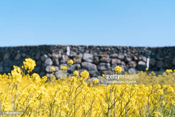 yellow flowering plants on field against clear sky - jeju island stock pictures, royalty-free photos & images