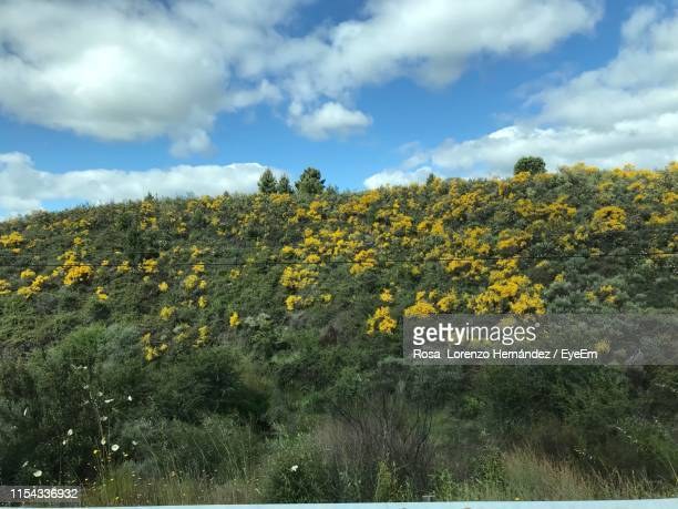yellow flowering plants on field against sky - crucifers stock pictures, royalty-free photos & images