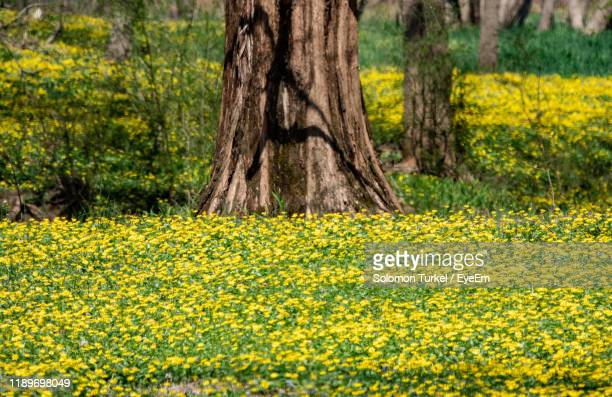 yellow flowering plants on field - solomon turkel stock pictures, royalty-free photos & images