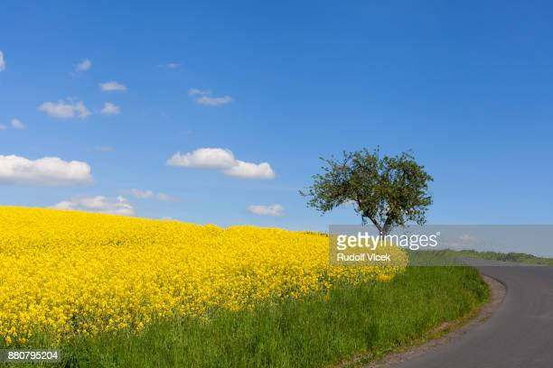 yellow flowering rape field against blue sky - brassica stock photos and pictures