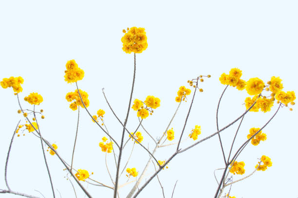Yellow Flowers Against White Background - Fine Art prints