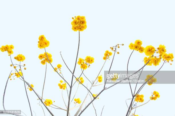 yellow flowers against white background - yellow photos et images de collection