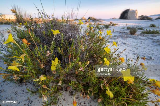 yellow flowers and sand pedestal - don smith foto e immagini stock