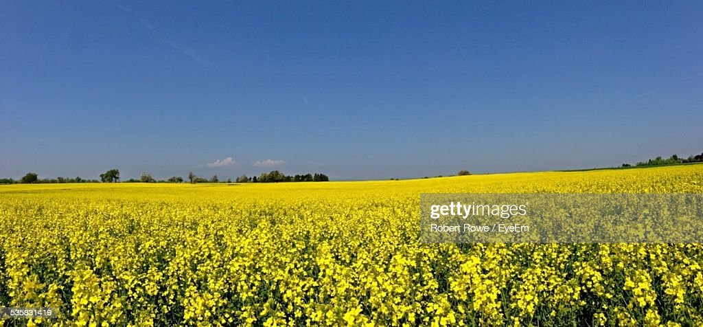 Yellow Flowers Blooming In Farm Against Blue Sky Stock Photo Getty