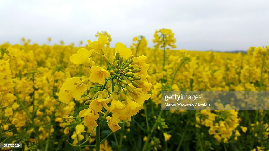 Yellow Flowers Blooming In Field : Stock Photo