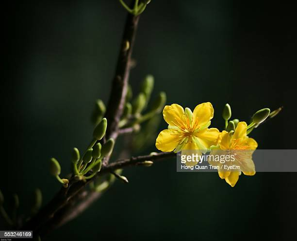 yellow flowers blooming in park - hong quan stock pictures, royalty-free photos & images