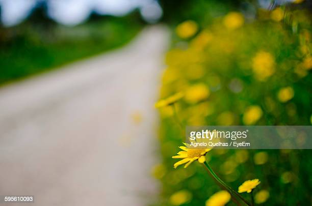 Yellow Flowers Blooming On Field By Road