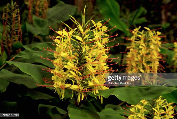Yellow Flowers Blooming on Kahili Ginger Plant