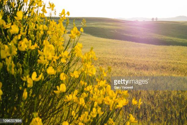 Yellow flowers by wheatfield in Tuscany