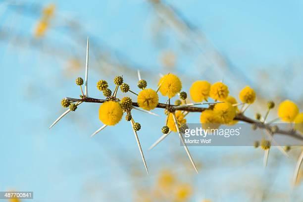 yellow flowers, camel thorn or giraffe thorn -acacia erioloba-, etosha national park, namibia - mimosa albero foto e immagini stock