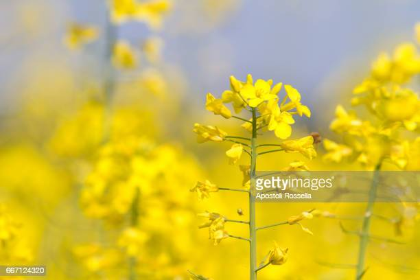 yellow flowers for rapeseed oil