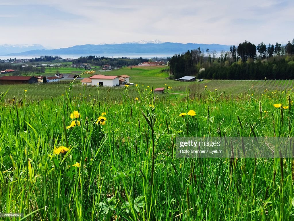 Yellow Flowers Growing Amidst Green Plants On Field Stock Photo