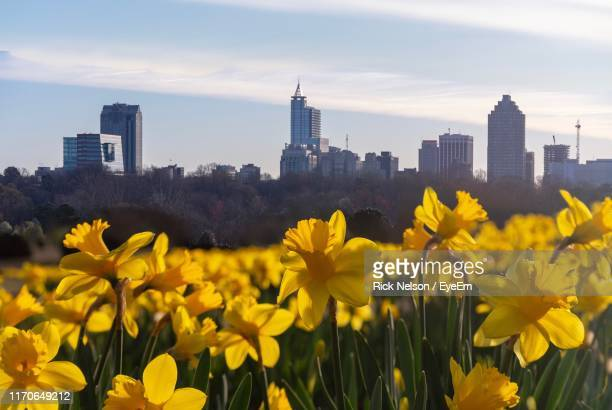 yellow flowers growing in city against sky - raleigh north carolina stock pictures, royalty-free photos & images