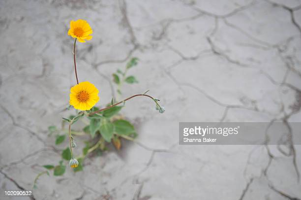 Yellow flowers growing in dry, cracked earth