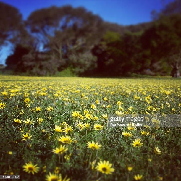 yellow flowers growing in field - the webster stock pictures, royalty-free photos & images