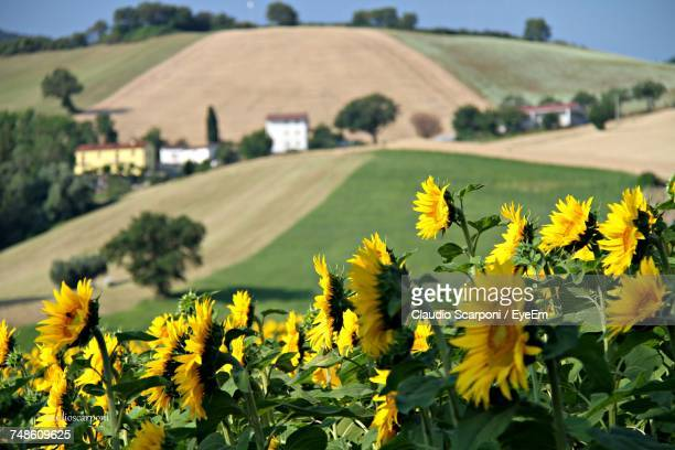 Yellow Flowers Growing In Field