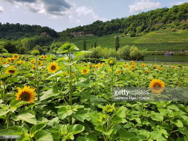 yellow flowers growing in field - flower part stock pictures, royalty-free photos & images