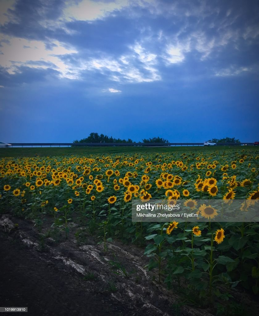 Yellow Flowers Growing On Field Against Sky Stock Photo Getty Images