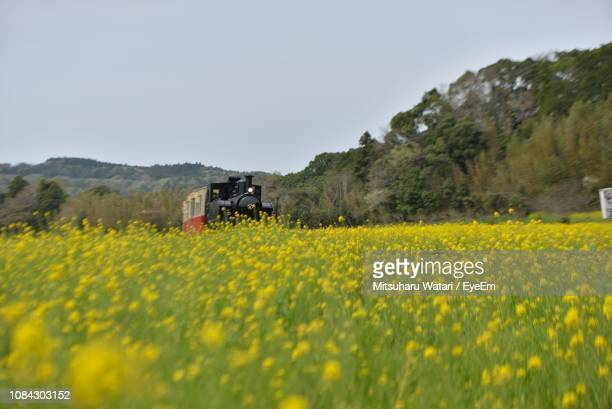 yellow flowers growing on field against sky - 千葉市 ストックフォトと画像