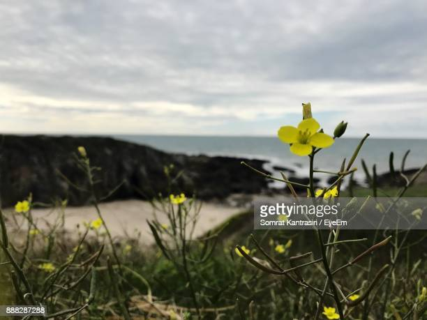 Yellow Flowers Growing On Field Against Sky