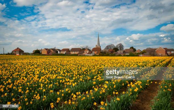 yellow flowers growing on field against sky - field of daffodils stock pictures, royalty-free photos & images