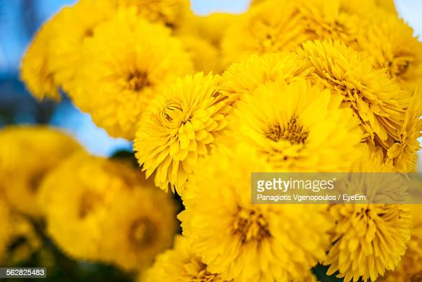 yellow flowers growing on field - vgenopoulos stock pictures, royalty-free photos & images