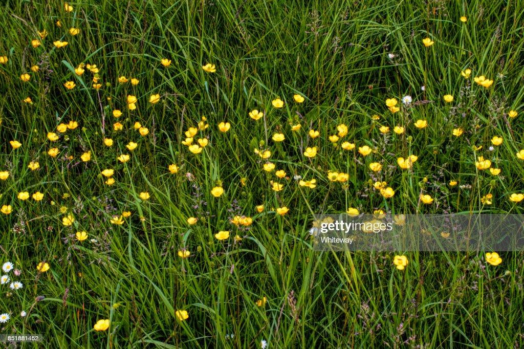Yellow flowers meadow buttercup ranunculus acris in english meadow yellow flowers meadow buttercup ranunculus acris in english meadow stock photo mightylinksfo