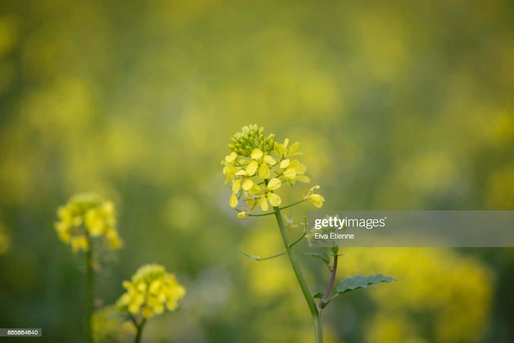 Yellow Flowers Of A Mustard Plant Stock Photo Getty Images