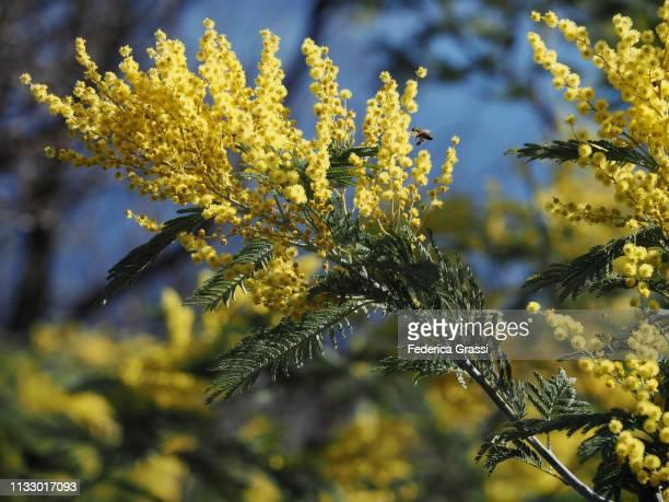 yellow flowers of acacia dealbata or mimosa (series) - mimose foto e immagini stock