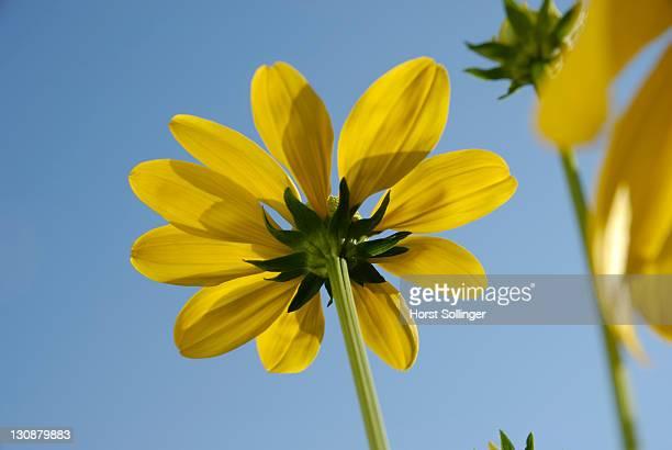 Yellow flowers of rudbeckia nitida, Asteraceae