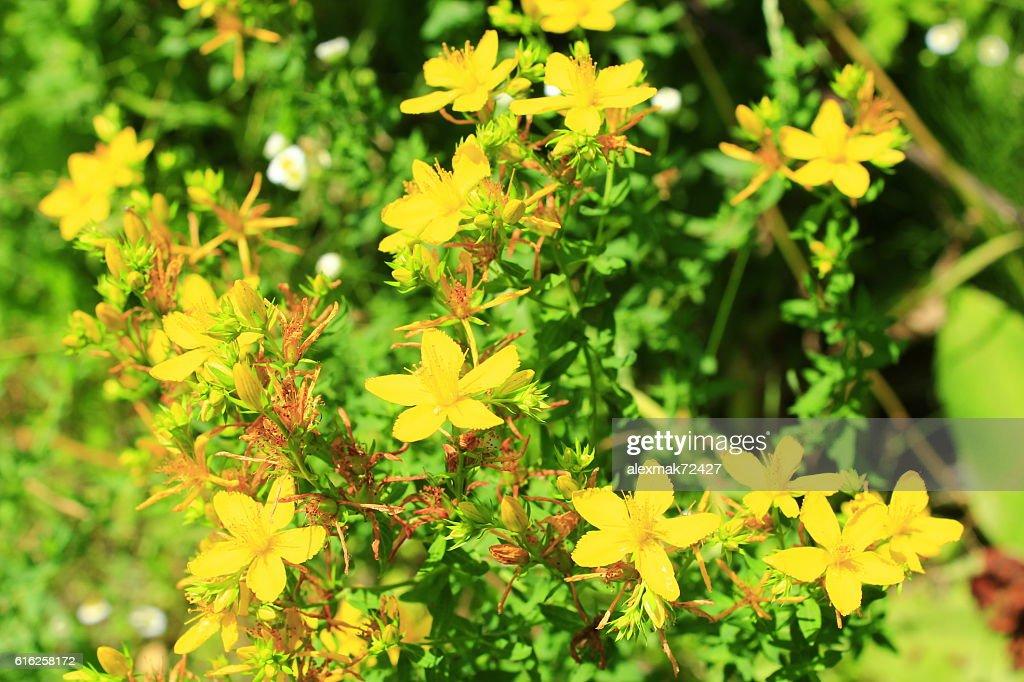 Yellow flowers of St.-John's wort : Stock Photo