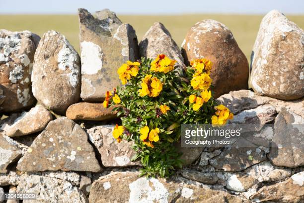 Yellow flowers of wallflower plant, Erysimum cheiri, growing on dry stone wall, Holy Island, England, UK.