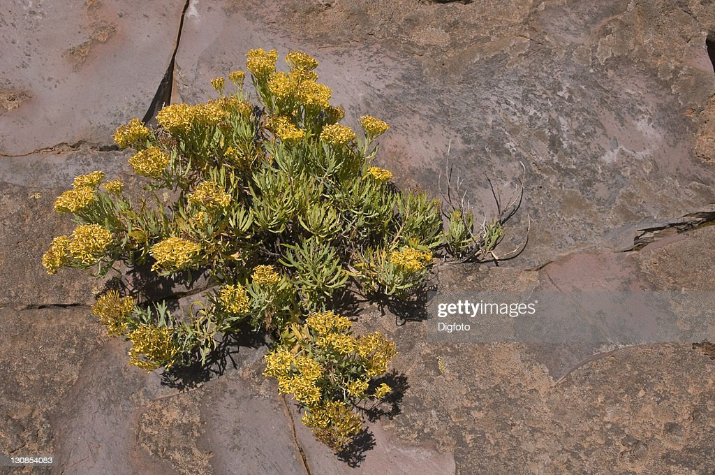 Yellow flowers on a rock wall la palma canary islands spain europe yellow flowers on a rock wall la palma canary islands spain europe mightylinksfo