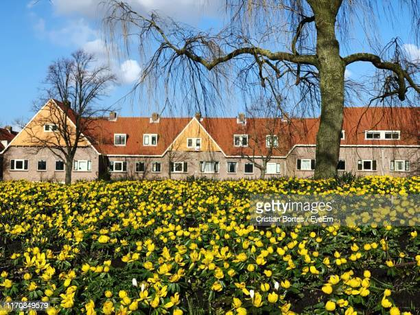 yellow flowers on field by houses against sky - bortes stockfoto's en -beelden