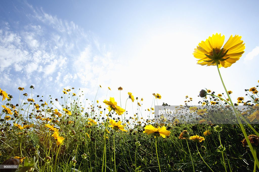 Yellow Flowers On The Field Stock Photo - Getty Images