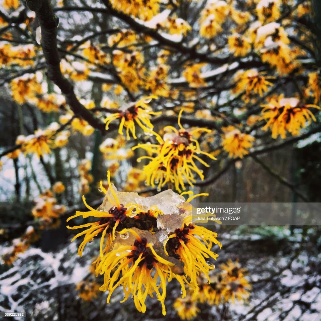 Yellow flowers on tree branch : Stock Photo