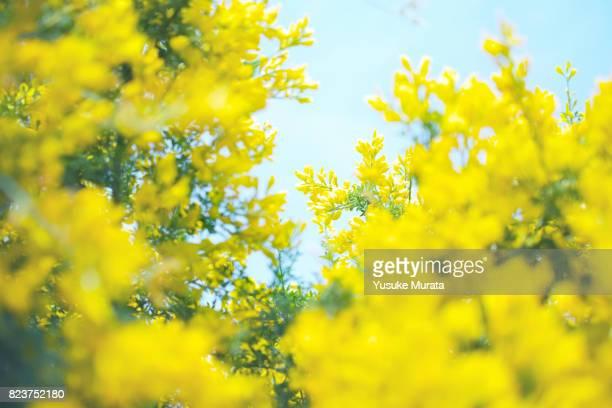 yellow flowers - セレクティブフォーカス ストックフォトと画像