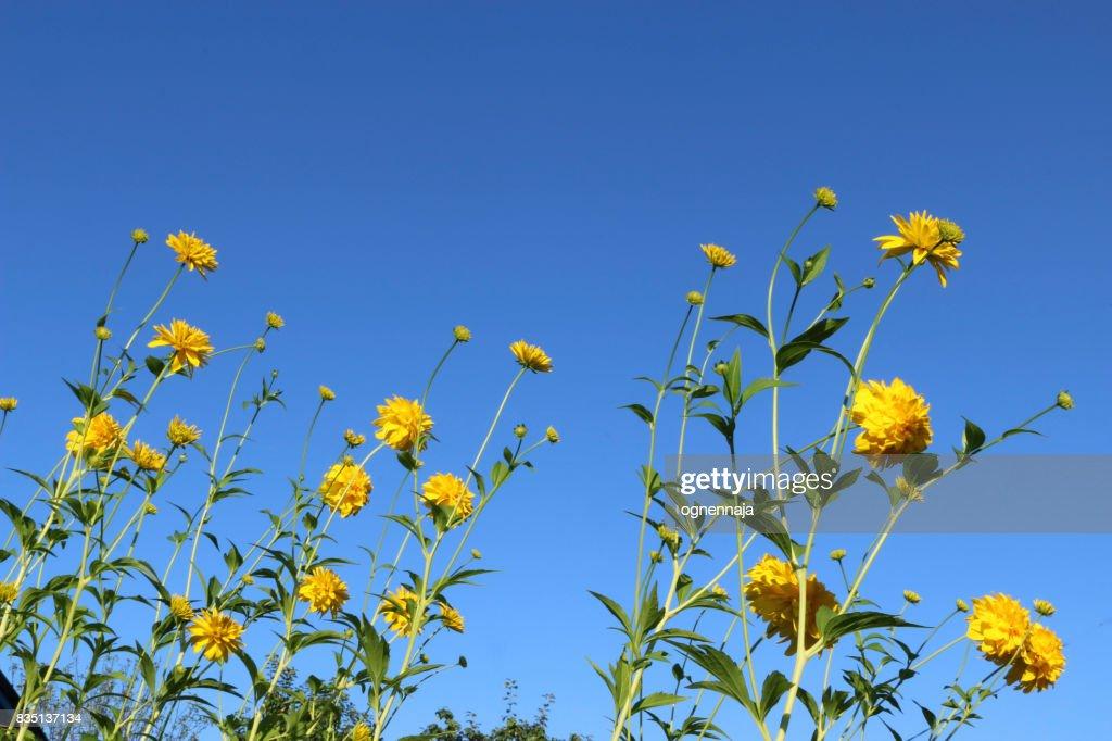 Yellow flowers rudbeckia golden ball on a blue background of a clean yellow flowers rudbeckia golden ball on a blue background of a clean summer sky mightylinksfo