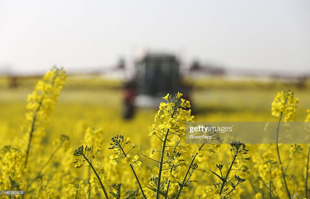 Rapeseed as crops in central europe face dryness stress photos and yellow flowers sit on the stems of rapeseed crops in a farmers field in basildon mightylinksfo