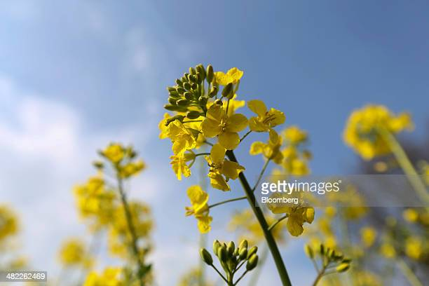 Yellow flowers sit on the stems of rapeseed crops in a farmer's field in Basildon UK on Wednesday April 2 2014 European Union production of...
