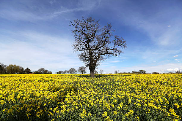 Agriculture and farming as europes mild winter puts wheat on track yellow flowers sit on the stems of rapeseed crops in a farmers field in ingatestone mightylinksfo