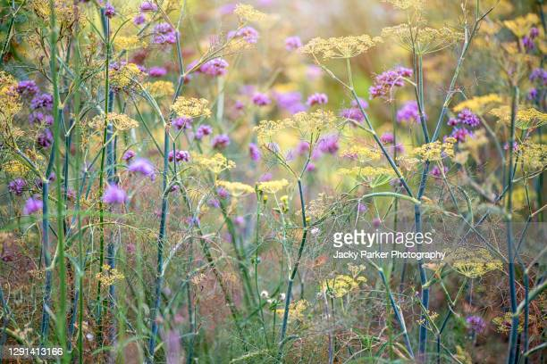 yellow foeniculum vulgare flowers also known as common fennel - meadow stock pictures, royalty-free photos & images