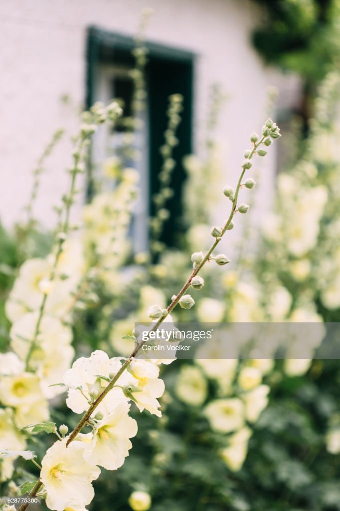 Yellow foxglove growing along a white house : Stock Photo